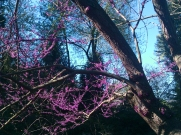 April 2012- Redbud Tree, Ann Arbor, MI